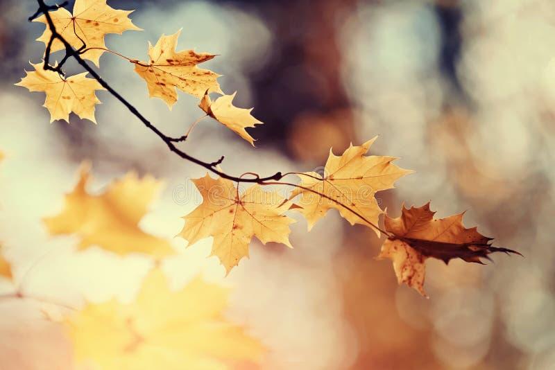 Gałąź klonowy drzewo z jesień liśćmi zdjęcia stock