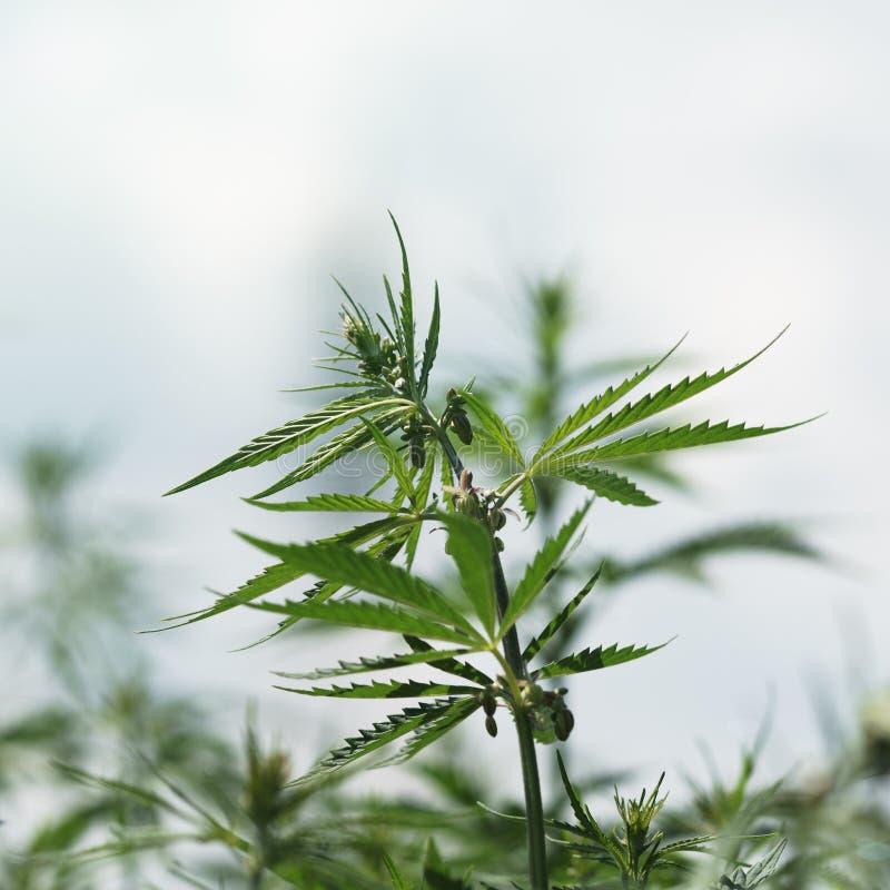 Gałąź konopiany krzak w górę Krzaka młody konopie na jaskrawym letnim dniu Marihuana jest dalą między lekiem i medycyną obrazy stock