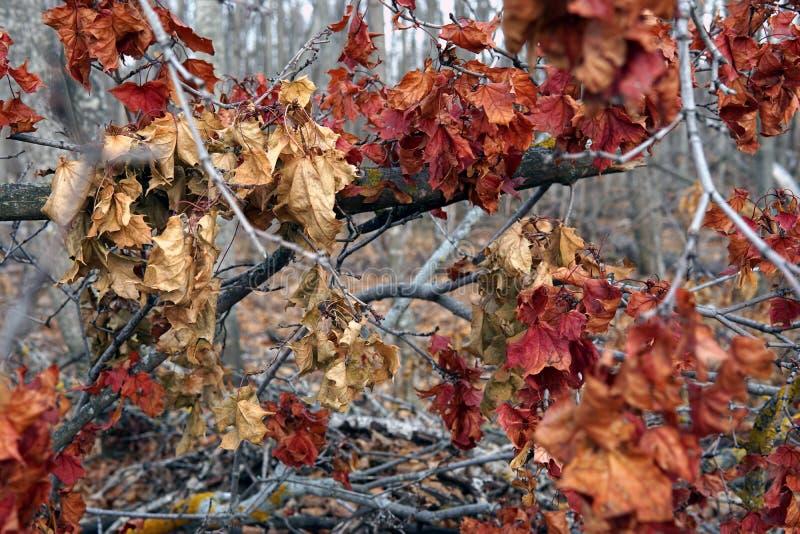 Gałąź krzaki z czerwonymi jesień liśćmi obraz stock