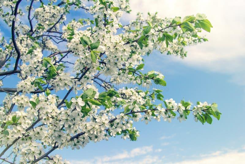 Gałąź kwiatonośna wiśnia obraz stock
