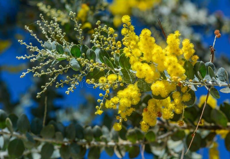 Gałąź kwiatonośne mimozy fotografia stock