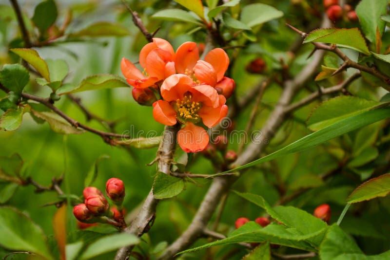 Gałąź kwiatonośnej pigwy zbliżenie Piękni menchia kwiaty zdjęcia stock
