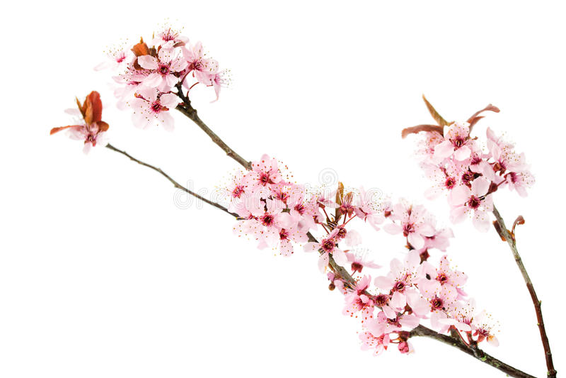 Gałąź kwitnąć czereśniowego drzewa, Sakura odizolowywał na białym tle zdjęcie stock