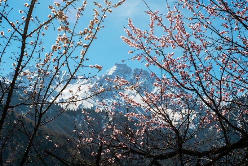 Gałąź kwitnąć dzikich morelowych drzewa na tle nakrywający halni szczyty zdjęcie stock