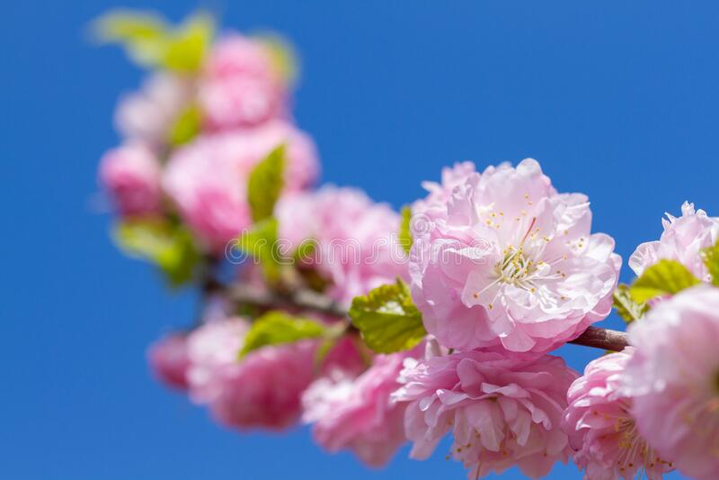 Gałąź kwitnących kwiatów sakury obrazy royalty free