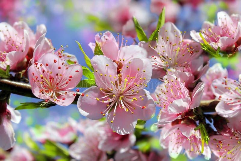 Gałąź kwitnie brzoskwini drzewo obraz royalty free