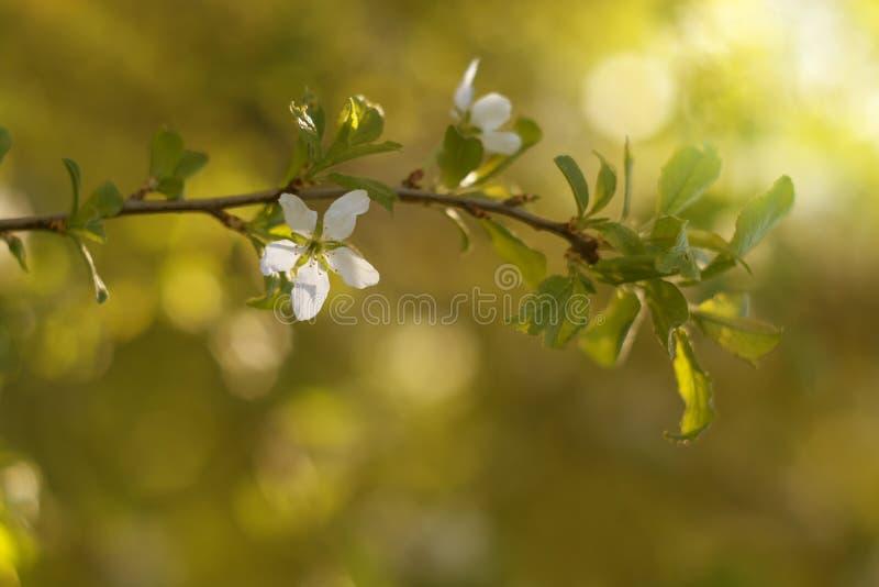 Gałąź kwitnie brzoskwinia z słońc lekkimi i pięknymi tło Delikatni kolory, zdjęcia stock