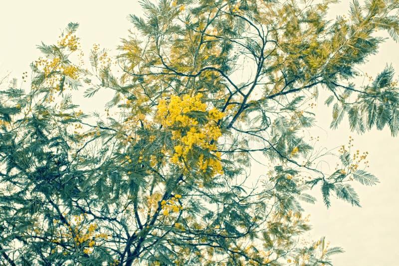 gałąź kwitnie mimozy kolor żółty fotografia stock
