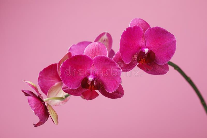 Gałąź kwitnie storczykowy claret kolor na różowym tle zdjęcie stock