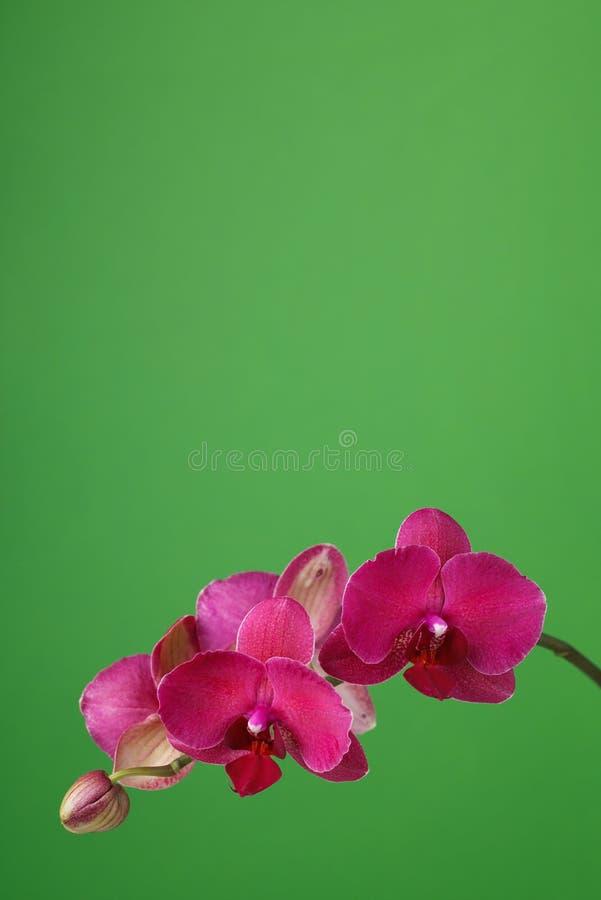 Gałąź kwitnie storczykowy claret kolor na zielonym tle obrazy royalty free