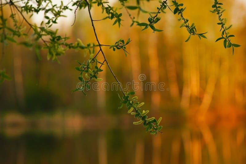 Gałąź młody drzewo na zamazanym tło lasu lecie obraz royalty free