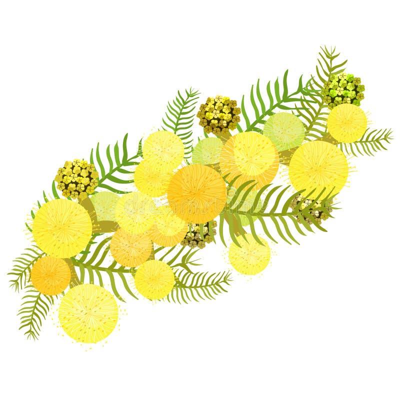 Gałąź mimozy akacjowa srebrzysta pobielona rodzina legumes Vect royalty ilustracja