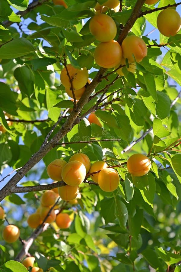 Gałąź morelowy drzewo z dojrzałymi owoc fotografia royalty free