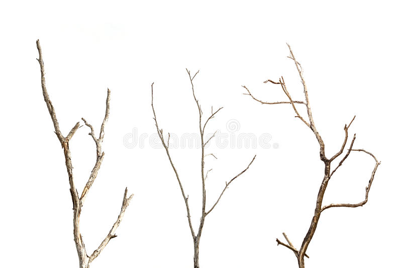 Gałąź nieżywy drzewo bez liścia odizolowywającego na bielu zdjęcia stock