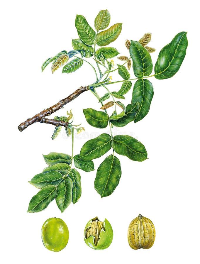 Gałąź orzecha włoskiego drzewo zdjęcia stock