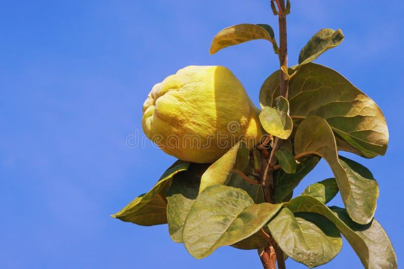 Gałąź pigwy drzewa Cydonia oblonga z liśćmi i jeden dojrzałą owoc przeciw niebieskiemu niebu zdjęcia royalty free