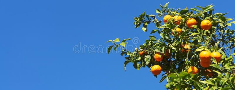 Gałąź pomarańczowy drzewo z dojrzałymi owoc fotografia stock