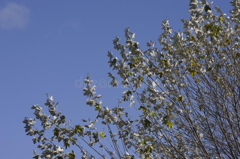 Gałąź przeciw niebieskiego nieba Lyme parkowi, Stockport parka narodowego Cheshire Anglia zimy Szczytowy Gromadzki dzień fotografia stock
