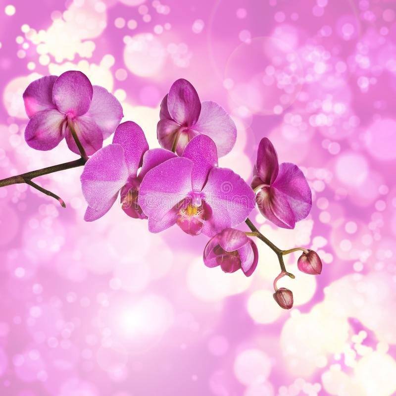 Gałąź purpurowa ćma orchidea fotografia royalty free