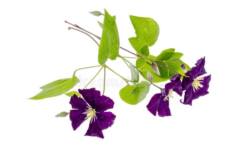 Gałąź purpurowy clematis z zieleń liśćmi odizolowywającymi na białym tle obrazy stock