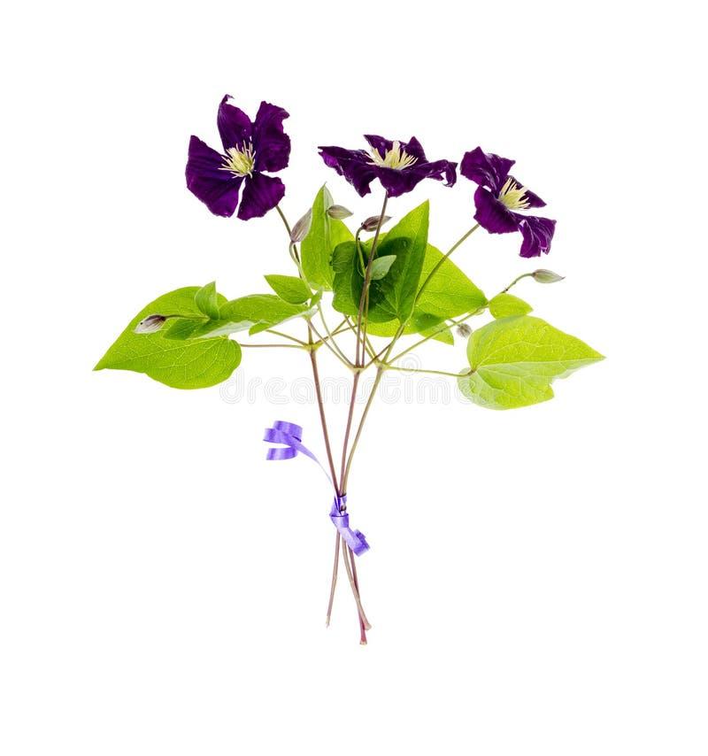 Gałąź purpurowy clematis z zieleń liśćmi odizolowywającymi na białym tle fotografia stock