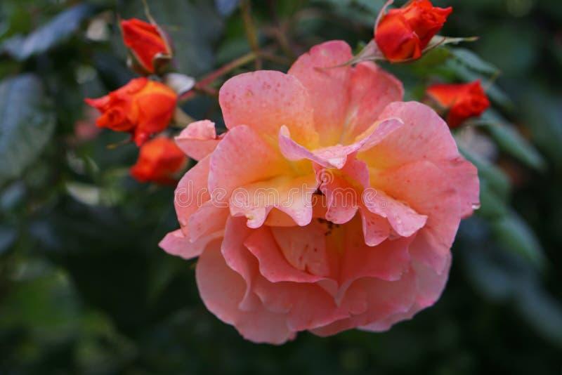 Gałąź róże w pączku fotografia stock
