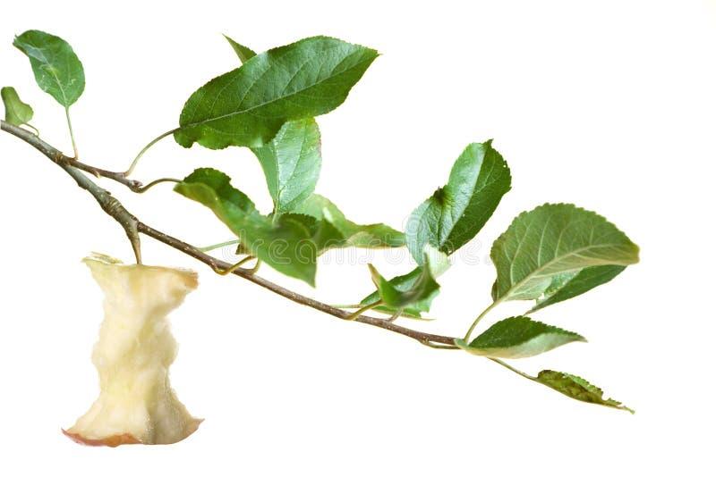 gałąź rdzenia jabłko zdjęcia stock