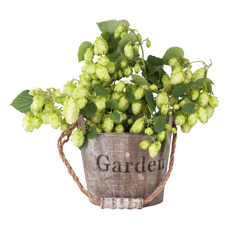 Gałąź rośliny podskakują, z liśćmi i rożkami stoi w drewnianym wiadrze zdjęcia royalty free
