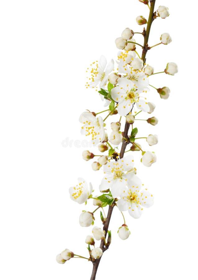 Gałąź w okwitnięciu odizolowywającym na bielu zdjęcie royalty free