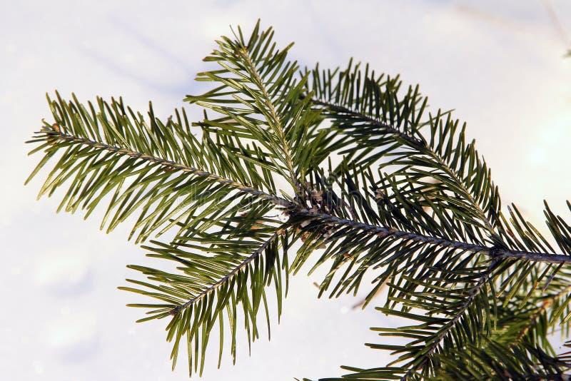 Gałąź wiecznozielony iglasty drzewo, wiele małe igły, zdjęcie royalty free