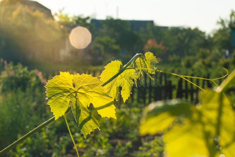 Gałąź winograd w promieniach słońce zdjęcie royalty free