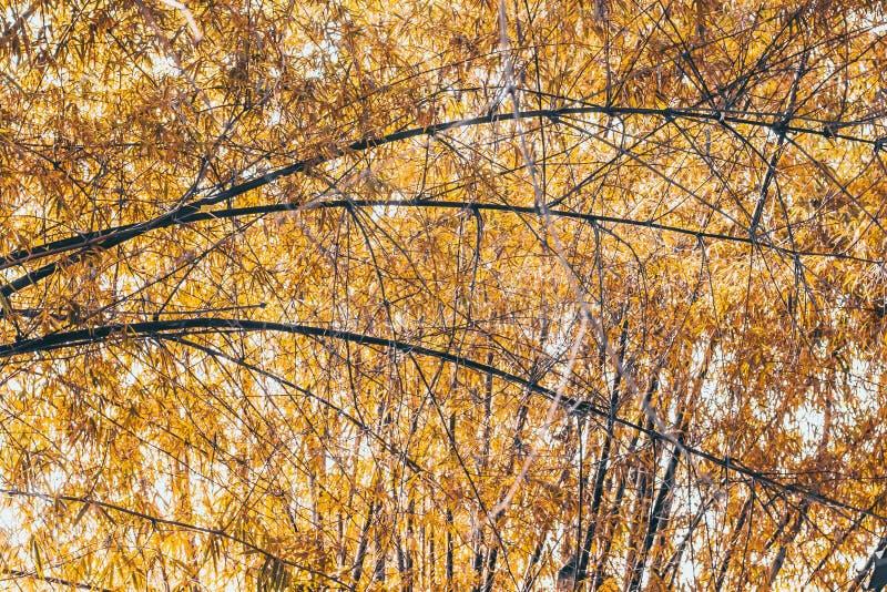 Gałąź złotego liść wiosny Bambusowego lata natury pomysłu piękny tło zdjęcia stock