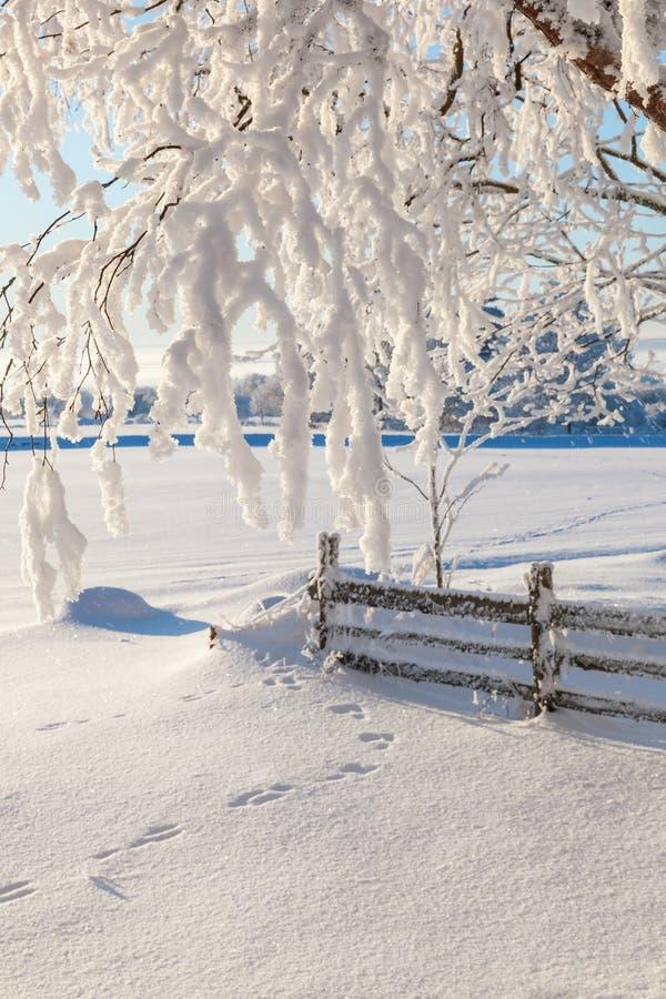 Gałąź z śniegiem fotografia royalty free