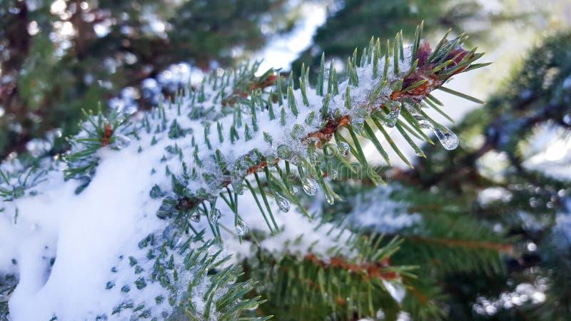 Gałąź z śniegiem i soplami zdjęcie royalty free