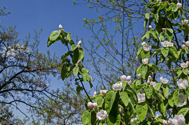 Gałąź z świeżym kwiatem drzewo kwiatu zbliżenie w ogródzie zdjęcie royalty free