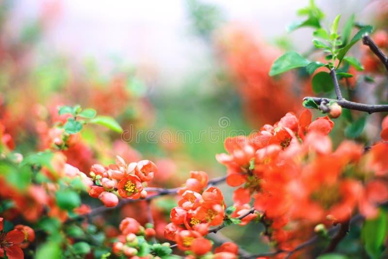 Gałąź z czerwienią kwitnie na zamazanym tle zdjęcia stock