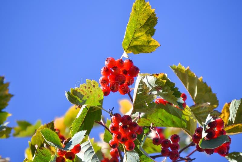 Gałąź z czerwonymi głogowymi jagodami przeciw niebieskiemu niebu obrazy royalty free