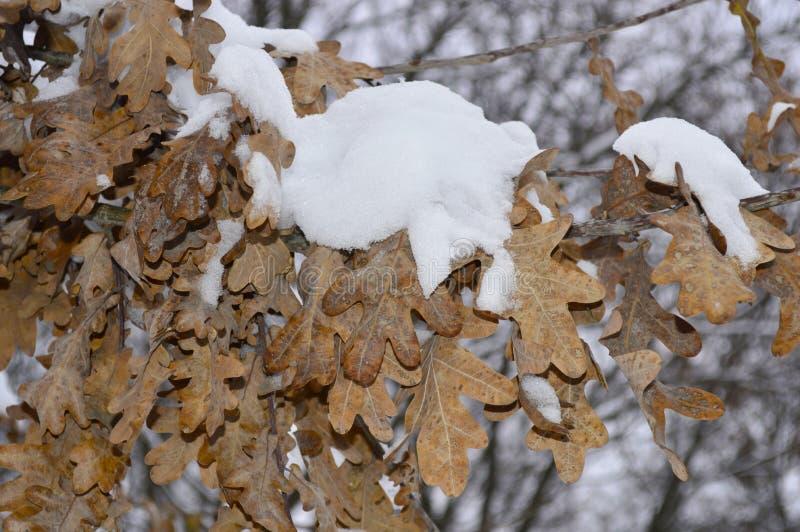 Gałąź z dębów liśćmi zakrywającymi z śniegiem obrazy stock