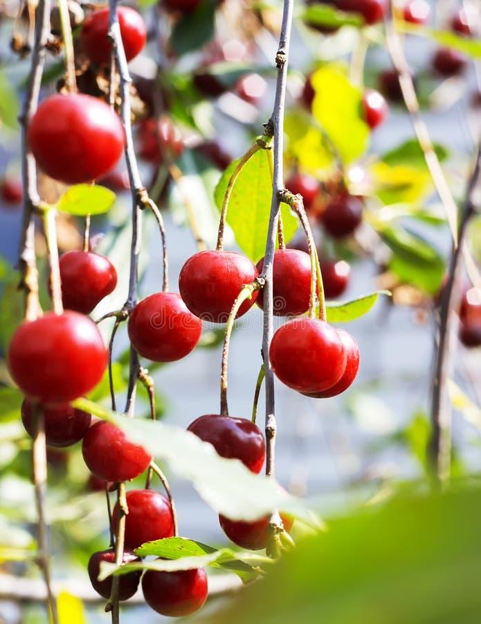 Gałąź z dojrzałymi owoc wiśnia, selekcyjna ostrość zdjęcie stock