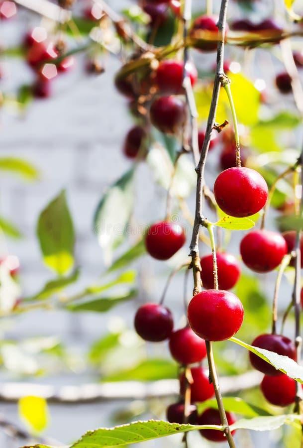 Gałąź z dojrzałymi owoc wiśnia, selekcyjna ostrość obraz stock