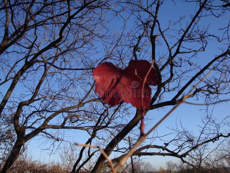 Gałąź z jesieni światła słonecznego czerwonymi liśćmi klonowymi obrazy stock