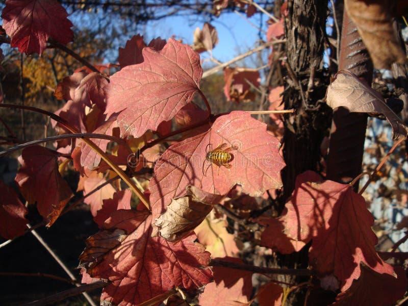 Gałąź z jesieni światła słonecznego czerwonymi liśćmi klonowymi zdjęcie royalty free
