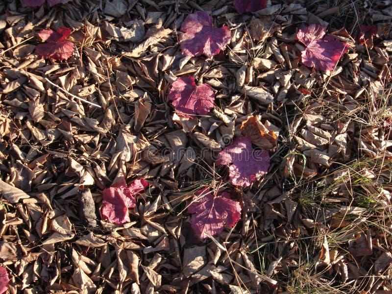 Gałąź z jesieni światła słonecznego czerwonymi liśćmi klonowymi obrazy royalty free