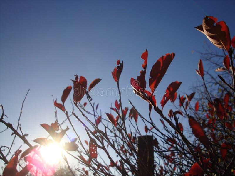 Gałąź z jesieni światła słonecznego czerwonymi liśćmi klonowymi zdjęcia stock