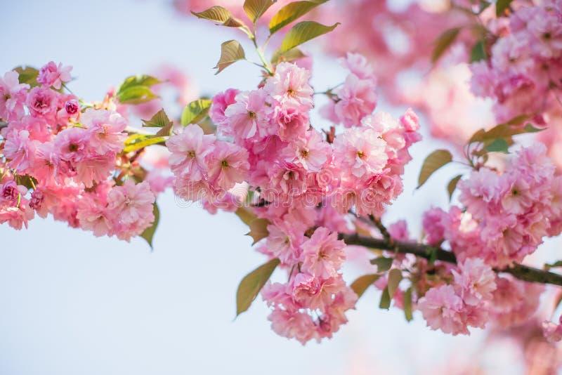 Gałąź z kwitnąć Sakura kwitnie w słońcu obraz stock