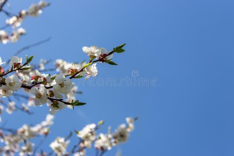 Gałąź z kwitnieniem kwitną przeciw jasnemu niebieskiemu niebu z kopii przestrzenią Wiosny okwitnięcia pojęcie obrazy royalty free