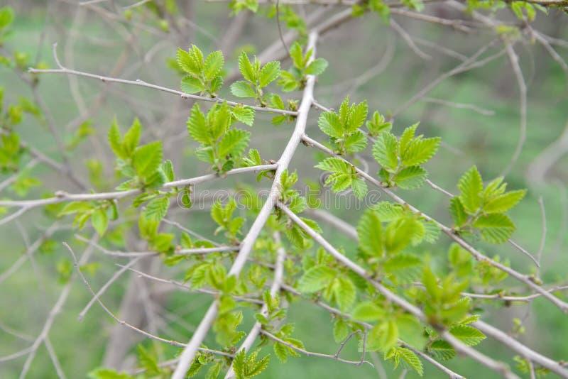 Gałąź z młodymi liśćmi wiązu Ulmus krępy pumila L zdjęcie royalty free