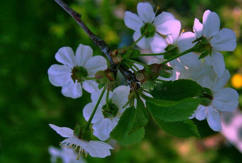 Gałąź z małymi białymi kwiatami zdjęcia royalty free