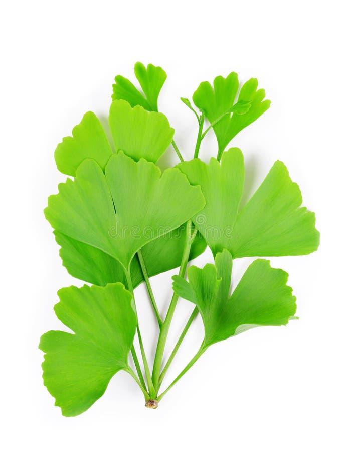 Gałąź z zielonymi liśćmi Ginkgo Biloba fotografia royalty free