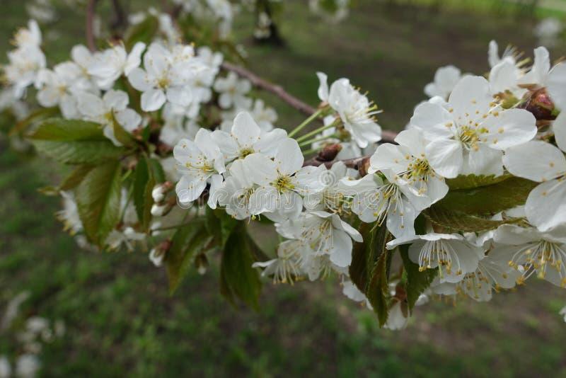 Gałąź zakrywająca z białym okwitnięciem wiśnia obrazy stock